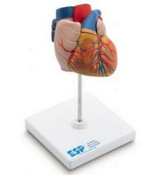 Anatomical Model of Heart (Dubai UAE) from ARASCA MEDICAL EQUIPMENT TRADING LLC