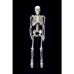 Skeleton With Stand from ARASCA MEDICAL EQUIPMENT TRADING LLC