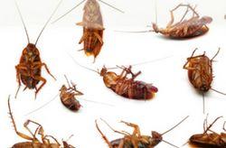 Domestic Pest Control from STAR AL MADINA PESTCONTROL SERVICES