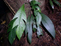Rhaphidophora Pertusa from ESSAAR EXPORTS
