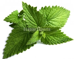 Fresh Peppermint Leaves from ESSAAR EXPORTS