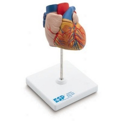 Anatomical model of heart from ARASCA MEDICAL EQUIPMENT TRADING LLC
