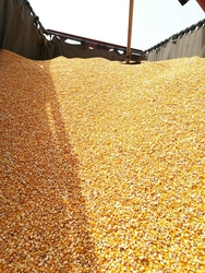 Maize for human consumption and animal feed from MAGNET INTERNATIONAL PRODCUREMENT LTD