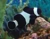 Darwin Ocellaris Clownfish