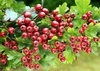 Hawthorn Extract total flovones vitexin