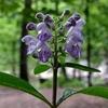Scutellaria Extract     Baicalin     wogonin