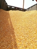 Maize for human consumption and animal feed
